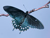 THE LOVELY PIPEVINE SWALLOWTAIL.  HAD TO PHOTOGRAPH THIS OVERHEAD - NOT EASY.  IT WAS SO PRETTY, THOUGH!