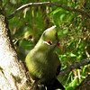 W Knysna Turaco at Kingfisher B&B