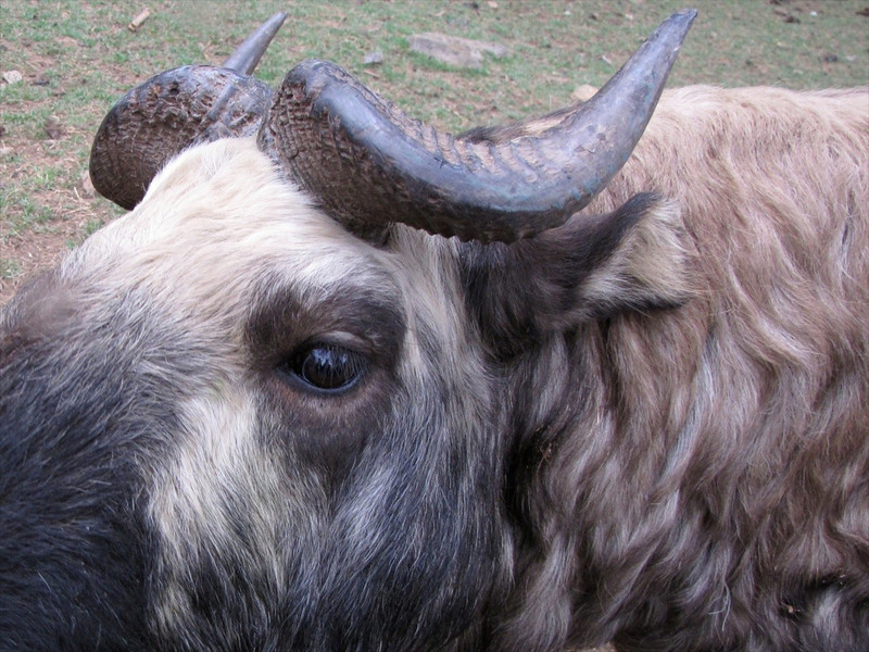 W-Takin, national animal of Bhutan