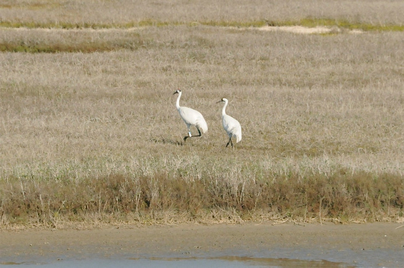 Whooping cranes near Port Aransas, TX