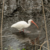 White ibis at Brazos Bend, TX