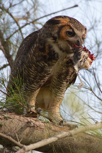 J - Great Horned Owl and Meal
