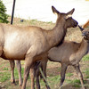 Elk mommy and baby