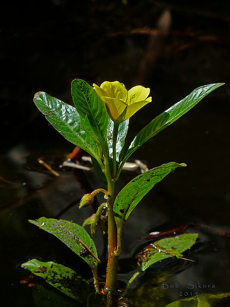 <em>Ludwigia peploides ssp. peploides</em>, Floating Water Primrose, native.  <em>Onagraceae</em> (Evening-primrose family). Garden pond, Alameda, Alameda Co., CA, 2013/07/30. jm2p949