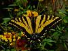 Western Tiger Swallowtail, <em>Papilio rutulus</em> nectaring on Mexican Bush Marigold, <em>Tagetes lemmonii</em> Garden, Alameda, Alameda Co., CA, 2015/03/21