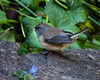 JUST ONE OF MANY JUNCOS THAT SEEM TO BE RESIDENT IN OUR GARDEN.