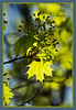 D094-2012 Backlit young leaves and flowers of Norway maple.  Forest Hill Cemetery, Ann Arbor April 4, 2012 (nex-5)