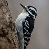 Hairy Woodpecker, Female, Wesselman Woods