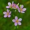 Rose Pink:  Sabatia angularis