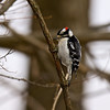 Downy Woodpecker, Hovey Lake