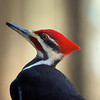Wesselman Woods, Pileated Woodpecker on the window sill.