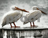 Wet White Pelicans 16x20 Gallery Wrapped