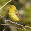 Western Tanager (F) 8-23-14