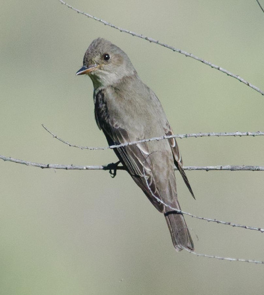 Olive-sided flycatcher 4-28-14