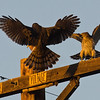 Two Cooper's Hawks.  The magic of Photoshop - see next pic!