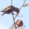 Red-crossbills 4-15-13