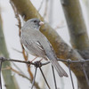 White-winged (?) Dark-eyed Junco. See Sibley page 501.  4-15-13