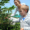 Jack Butzin, 4, picks blueberries with his mother Erin, at Baumhart Road Berries at 2200 Baumhart Road in Vermilon on July 29. The farm is open Tuesday, Thursday and Fridays from 8 am to 5 pm,  Wednesday from 8 am to 8 pm,  Sat. from 8 am to 5 pm, and closed on Sunday and Monday.  STEVE MANHEIM/CHRONICLE