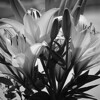 Monochrome of a bunch of orange asiatic lilies in the bright Summer sun.