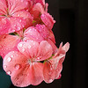 Raindrops on my pink geraniums hanging on my patio gate in a basket.