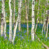 Aspen forest with blue wild flowers