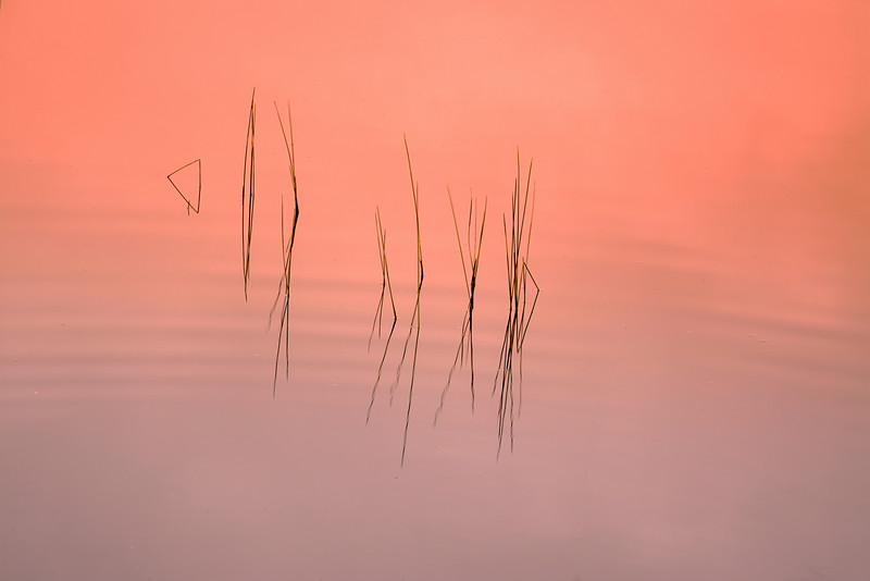 Grasses in water at sunrise