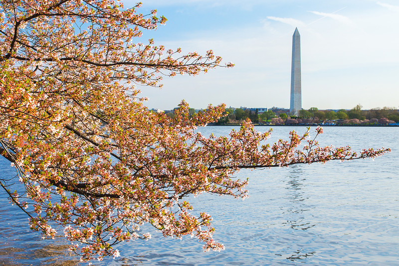 Washington monument cherry blossom end bloom02389
