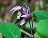 Western Fairy Slipper Orchid Coeur D Alene Lake Eagles
