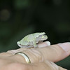 GrayTree Frog