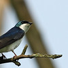 Tree Swallow - Morton Arb eastside