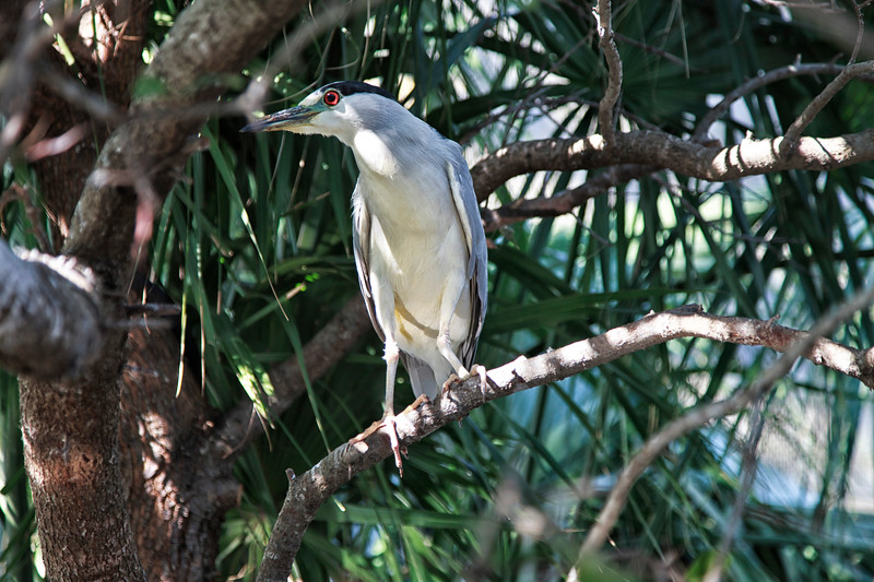 Night Heron downtown Charleston.