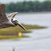 Pelican over Breech Inlet.
