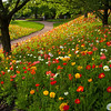 Icelandic Poppies 0639