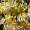 Pale yellow azalea-2