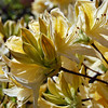 Pale yellow azalea-1