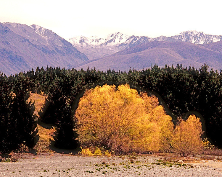 Fall Tree to Mt. Cook