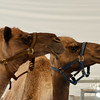 Camels at Orange County Fair Grounds 2