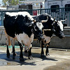 Oxen at the Orange County Fair in Costa Mesa California 2
