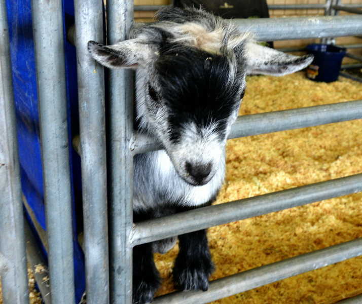 Young Goat at the Orange County Fair