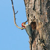 RED BELLIED WOODPECKER - MALE