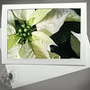 White Poinsettia FLW037