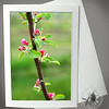 Apple Blossom buds FLW002