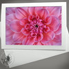Light Pink Dahlia FLW021