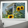 Portsmouth Sunflowers FLW029