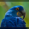Hyacinth Macaw, Blue Parrot (Anodorhynchus hyacinthinus).<br /> <br /> Origin: South America<br /> <br /> Photographed at The Phoenix ZOO.<br /> <br /> 08/19/2014