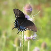 SPICEBUSH SWALLOWTAIL(924AM), huntingdon, pa, july 21, 2005c