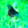 SPICEBUSH SWALLOWTAIL(924AM), huntingdon, pa, july 21, 2005G