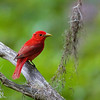 Summer Tanager, Pinckney NWR, Hilton Head Island, South Carolina