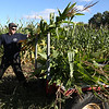 Jacob Conrad, of County Line Farm Market in Avon, cuts corn stalks out of a farm field in Sheffield Village. The stalks are destined to be used for fall decor. BRUCE BISHOP/CHRONICLE