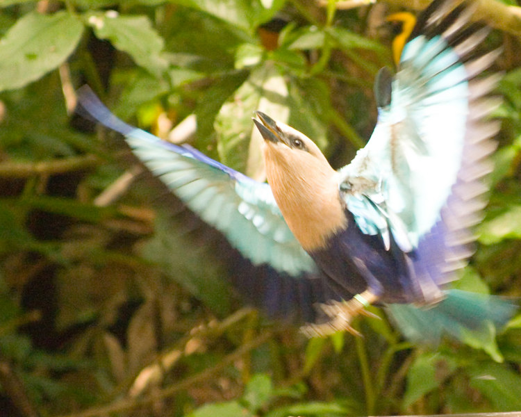 Taking Off<br /> Jurong Bird Park, Singapore Nov 2006<br /> © WEOttinger, The Wildflower Hunter - All rights reserved<br /> For educational use only - this image, or derivative works, can not be used, published, distributed or sold without written permission of the owner.